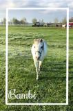HC de Lange Linschoten Bambi